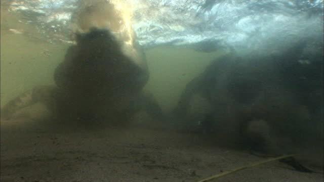 crocodiles hunting in lake tanganyika, africa - 噛む点の映像素材/bロール