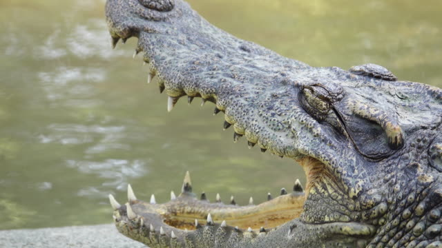 crocodiles in the zoo - crocodile stock videos & royalty-free footage