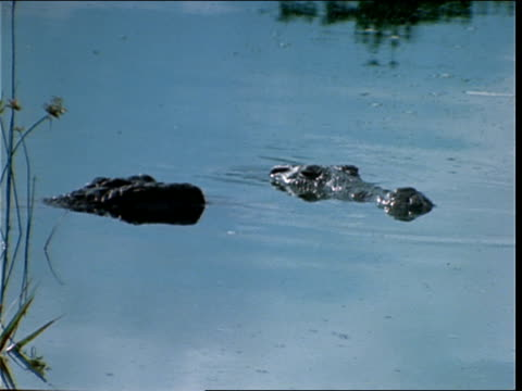 crocodiles languish in a swamp. - zoologia video stock e b–roll