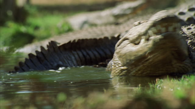 vídeos de stock, filmes e b-roll de ms pov crocodiles liding into water / unspecified - dente animal