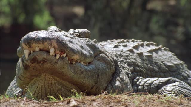 cu  crocodiles on riverbank / unspecified - echte krokodile stock-videos und b-roll-filmmaterial