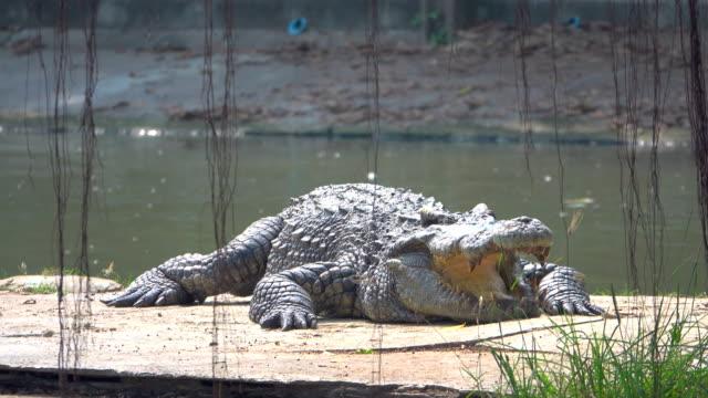 vídeos de stock e filmes b-roll de crocodiles - crocodilo