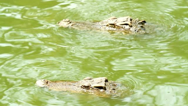 crocodiles - aquatic organism stock videos & royalty-free footage