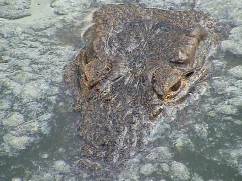 crocodiles - peeking stock videos & royalty-free footage