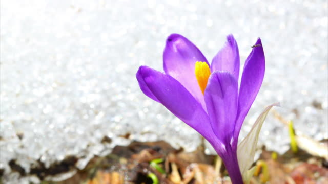 Crocus and melting show HD