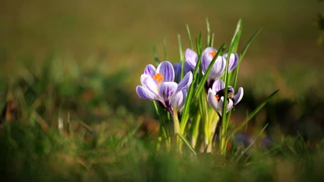 Crocus flower and bumblebee
