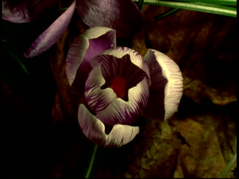 t/l crocus flower opens, from above - plant bulb stock videos & royalty-free footage