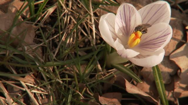 vídeos de stock, filmes e b-roll de crocus in spring sweden. - pistilo