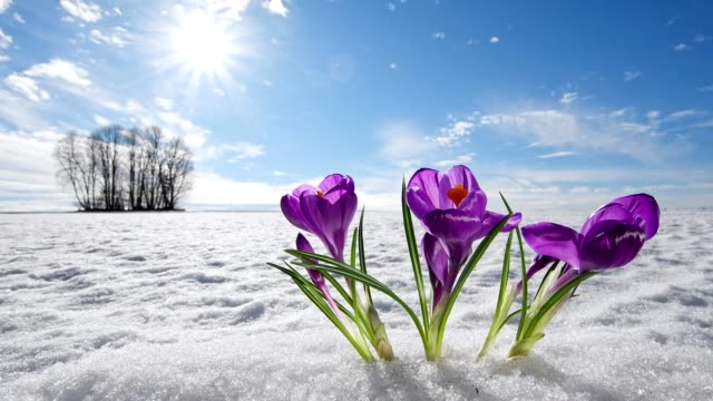 Crocus in the snow with sun, early spring, Bavarian forest, Bavaria, Germany