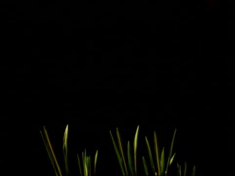 t/l crocus leaves grow, purple flowers blooms then wilt, black background - しおれている点の映像素材/bロール