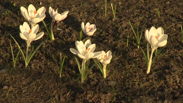 crocuses in bloom in regents park in february during unseasonably warm weather - plant stock videos & royalty-free footage