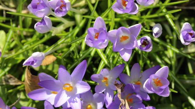 crocuses opening - springtime stock videos and b-roll footage
