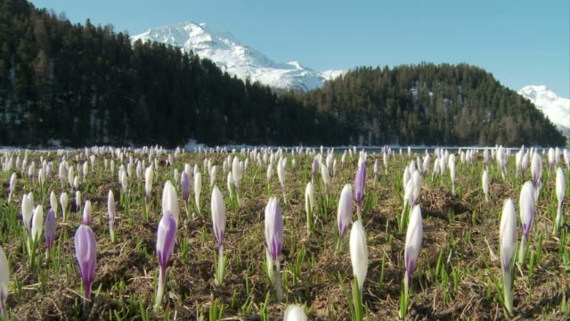crocuses opening - flower head stock videos & royalty-free footage