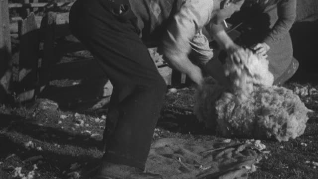 1944 montage crofter gathering up sheep fleece after seasonal clipping initiative in community / achriesgill, scotland, united kingdom - achriesgill stock videos and b-roll footage