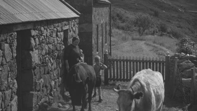 1944 montage crofter taking cows to pasture in highland / achriesgill, scotland, united kingdom - achriesgill stock videos and b-roll footage