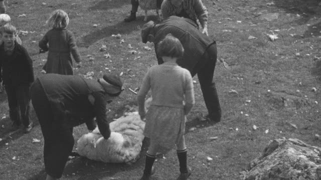 1944 crofting community cooperating by clipping sheep in field together / achriesgill, sutherlandshire, scotland - achriesgill stock videos & royalty-free footage
