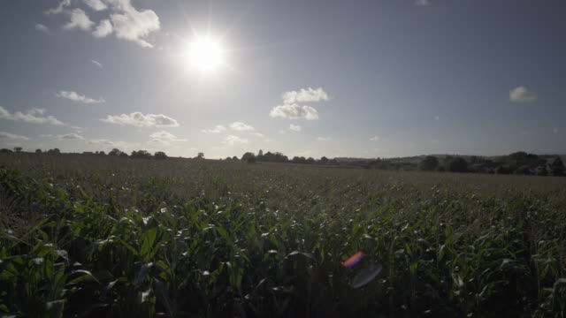 a crop of maize in the afternoon sunshine. - somerset stock videos & royalty-free footage