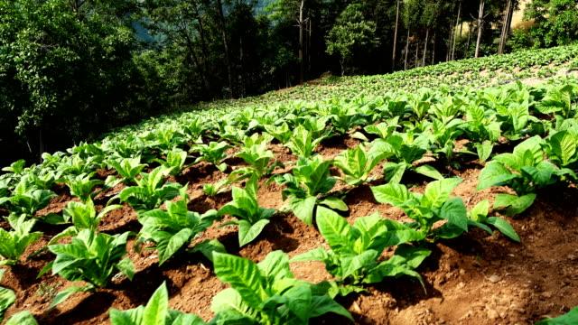 crop seedlings - tobacco crop stock videos & royalty-free footage