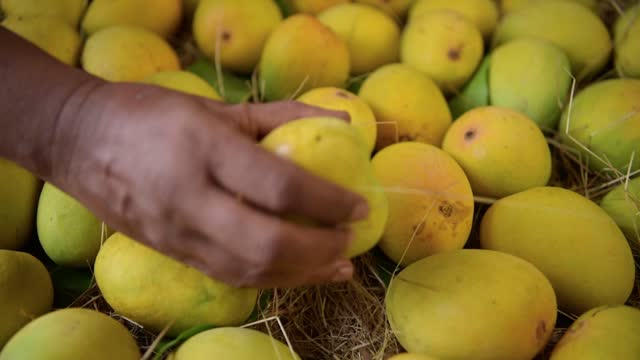cropped hand of a man checking the mangoes kept to become ripe and ready to eat - mango fruit stock videos & royalty-free footage