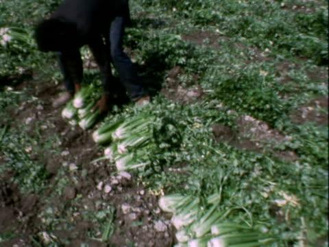 vidéos et rushes de crops, fields, migrant labor - ouvrier agricole