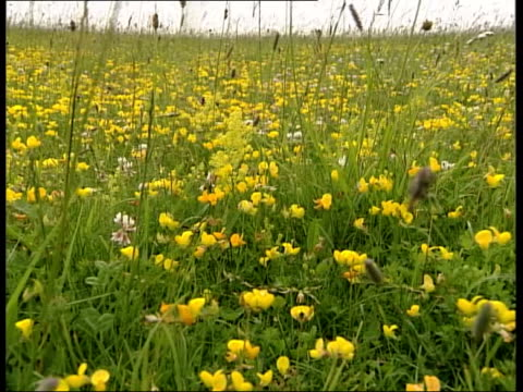 wildlife effects itn field of buttercups - ranunculus stock videos & royalty-free footage