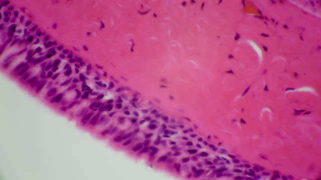 vídeos y material grabado en eventos de stock de sección transversal del tejido epitelio - membrana celular
