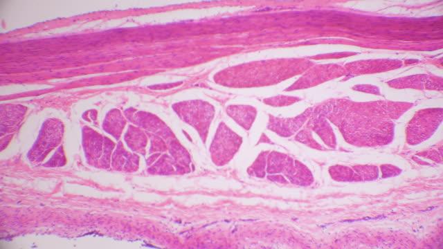 vídeos y material grabado en eventos de stock de sección transversal del tejido del epitelio transitorio de la vejiga urinaria - membrana celular