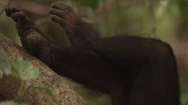 crossed legs of chimpanzee (pan troglodytes) relaxing in tree, senegal - cross legged stock videos & royalty-free footage
