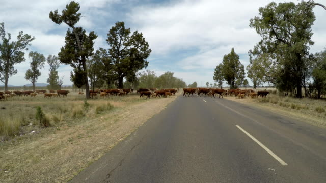 crossing the road with grass fed beef cattle - grazing stock videos & royalty-free footage