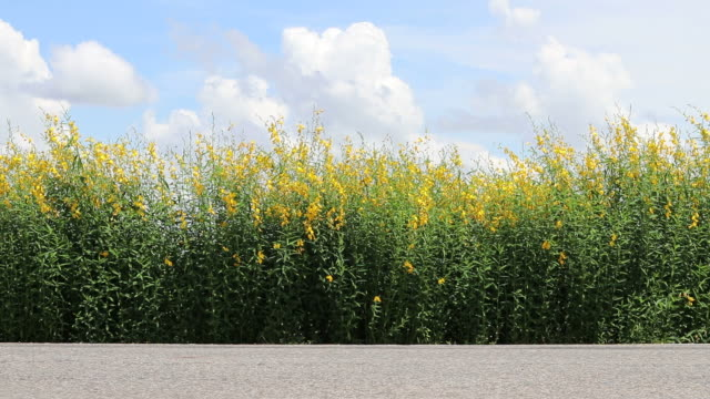 crotalaria flower road with passing cars. - crucifers stock videos & royalty-free footage