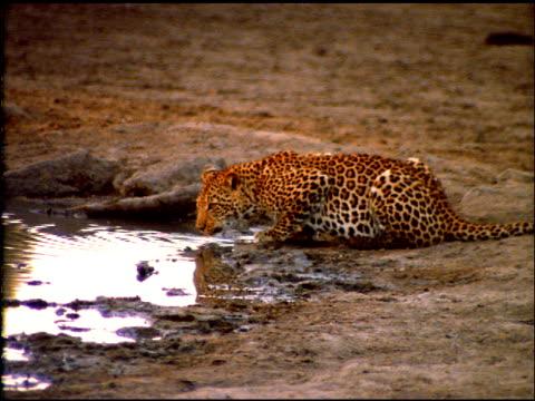 crouching leopard drinks from waterhole then looks around, botswana - wirbeltier stock-videos und b-roll-filmmaterial