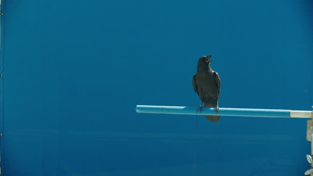 crow against blue background - crow stock videos & royalty-free footage