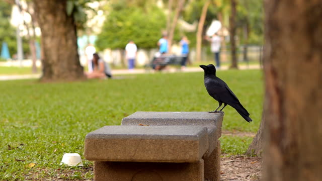 crow alone in public park - crow stock videos & royalty-free footage