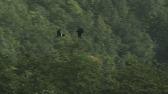 crow and peregrine falcon fly overhead, kamchatka, 2009 - wanderfalke stock-videos und b-roll-filmmaterial