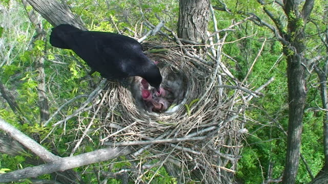 crow at child-rearing - vogelnest stock-videos und b-roll-filmmaterial