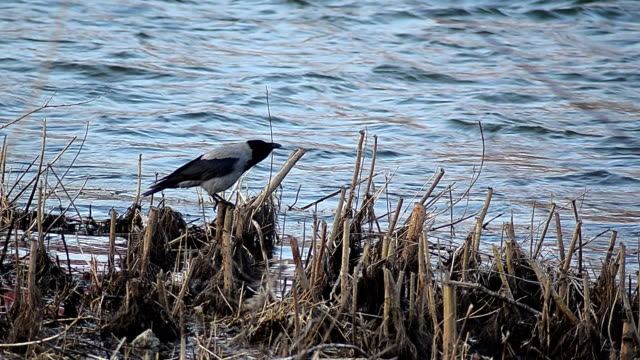 crow at the river side - video - new london county connecticut stock videos & royalty-free footage