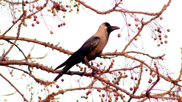 stockvideo's en b-roll-footage met de vogelzitting van de kraai op boomtak - lichaamsdeel van dieren