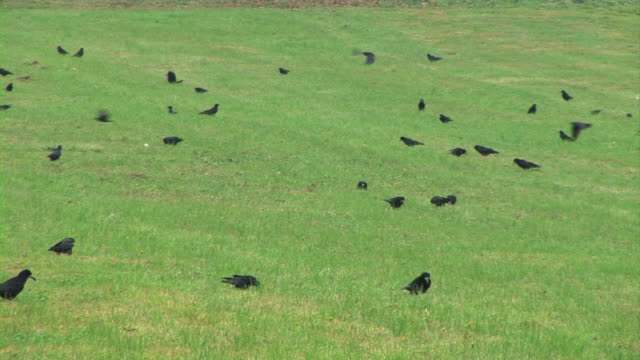 crow birds on meadow - crow stock videos & royalty-free footage