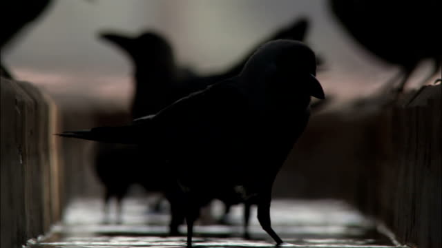 Crow drinks in gutter then takes off Available in HD.