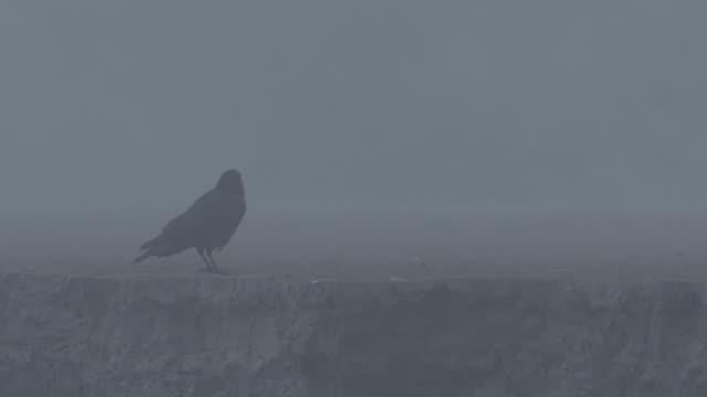 Crow eating on ash plain at dusk, Kamchatka, 2009