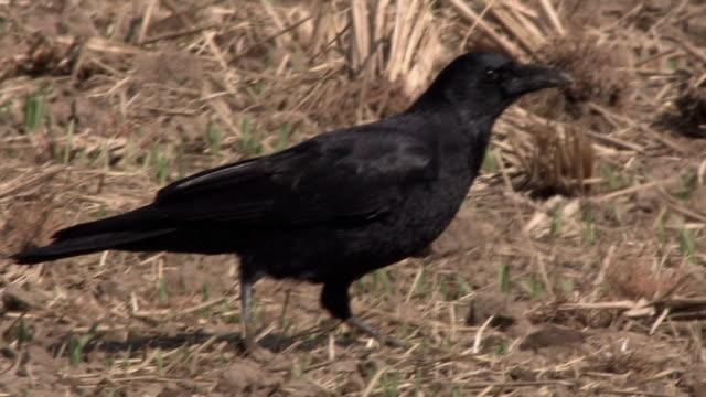 stockvideo's en b-roll-footage met a crow feeding - pikken
