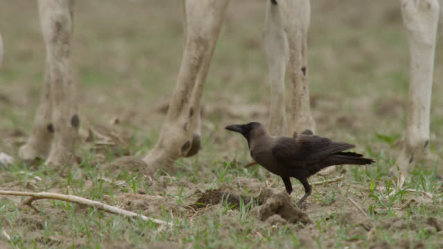 crow feeds on khur dung, india. - kleine gruppe von tieren stock-videos und b-roll-filmmaterial