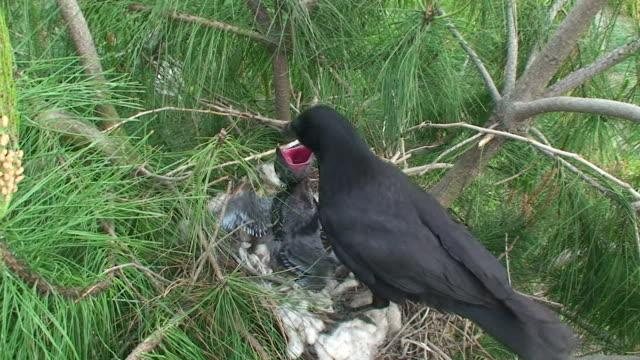 crow nurturing - crow stock videos & royalty-free footage