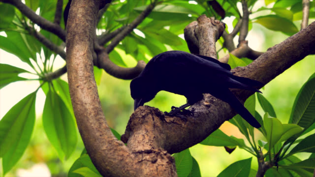 crow on the branch. - crow stock videos & royalty-free footage