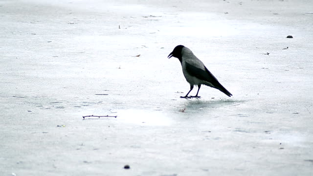 Crow on the ice
