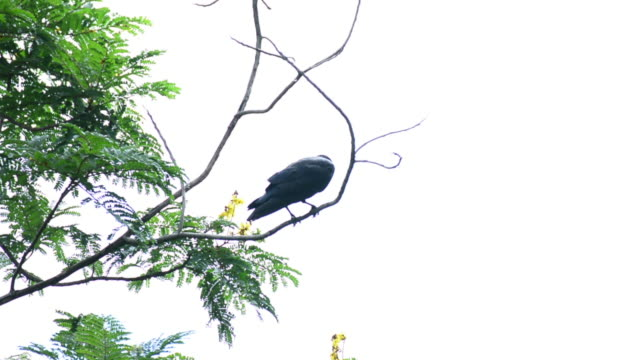 crow on the tree. - crow stock videos & royalty-free footage