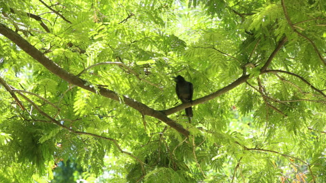 Crow on treetops in the park