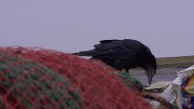 vídeos de stock e filmes b-roll de a crow pecks at a slice of bread in a harbour, cobh, county cork, ireland. - rede de pesca comercial