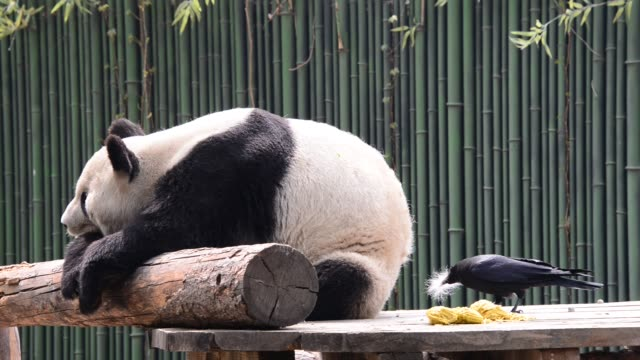 a crow pecks furs from a giant panda's buttocks at beijing zoo on april 9 2018 in beijing china - animal hair stock videos & royalty-free footage