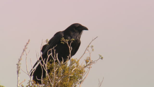 A crow perches on a bush and vocalizes.